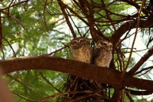 Pair of owls in the park